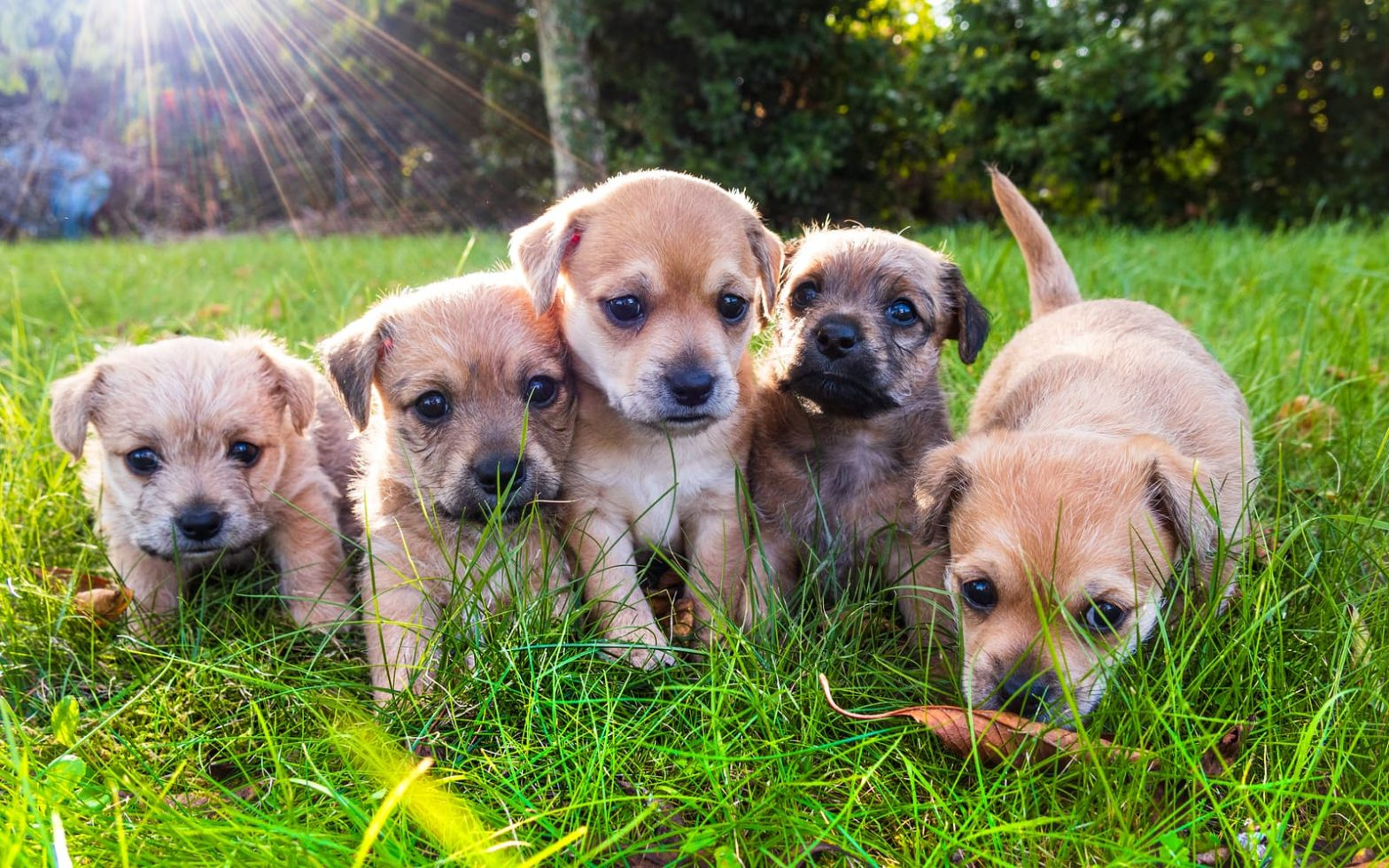 How Many Litters a Dog Can Have